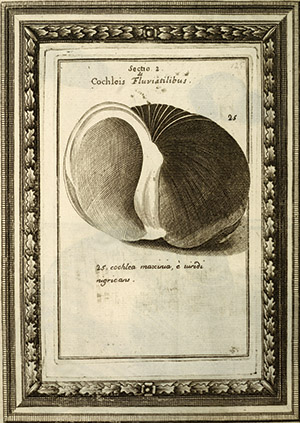 Shell illustration from Martin Lister, Histori Conchyliorum (London, 1685). Peachey Collection, Kislak Center