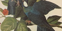On exhibit: Audubon's Birds of America